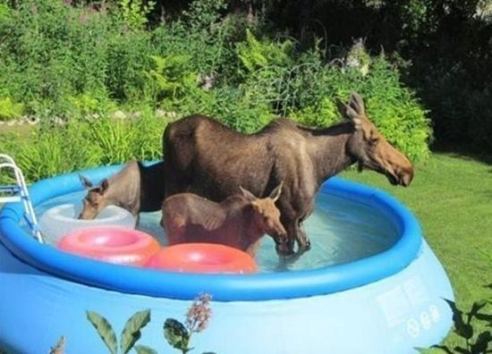 A family of wild animals stole your pool.