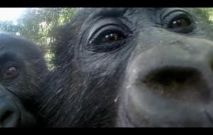 Gorillas React To Their Reflection